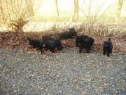 Welpen Mischlings-Hunde
