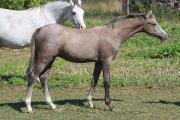 Welsh Pony Hengstfohlen -