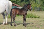 Welsh Pony - Jährlingsstute (
