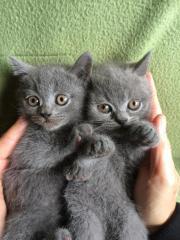 Wunderschöne Kartäuser-Kätzchen