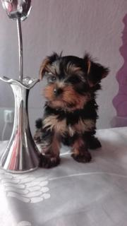Yorkshire Terrier Mini (