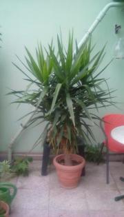 Yucca-Palme inkl.