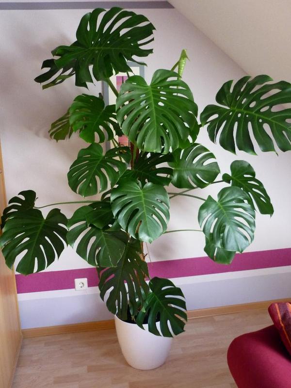 zimmerpflanze fensterblatt monstera deliciosa cm. Black Bedroom Furniture Sets. Home Design Ideas