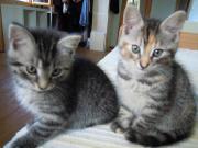 Zwei Katzenkinder abzugeben