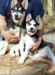 2 Husky Welpen