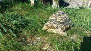 2 Pantherschildkröten, männlich!