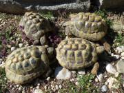 4 griechische Landschildkröten
