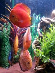 4 große Diskusfische