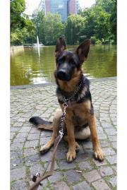 Deutscher Schäferhund in Frankfurt - Hunde - kaufen ...