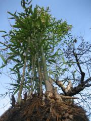 Bambus darf in