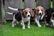 Beaglewelpen Tolle Familienhunde