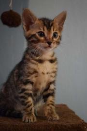 Bengal- Kitten