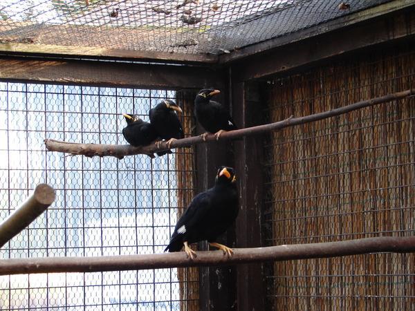 Beo ,Mittelbeo » Vögel