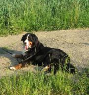 Berner Sennenhund Hündin