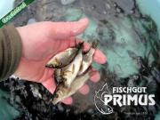 Besatzfische - Schuppenkarpfen-Paket