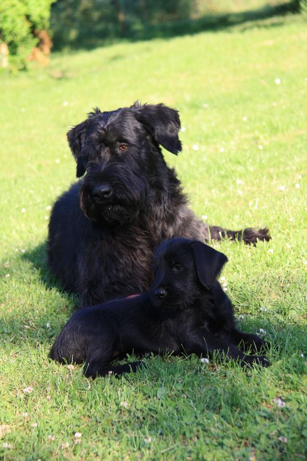 Bestens geprägte Riesenschnauzerwelpen, » Hunde