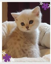 BKH Kitten in