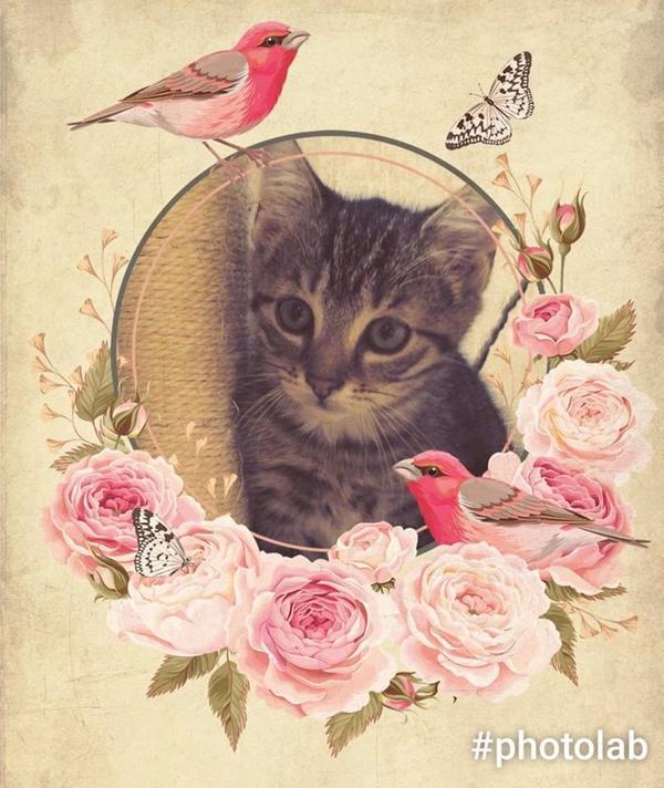 BKH Norweger Perser » Katzen