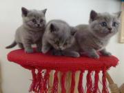 BKH reinrassige Katzenbabys,
