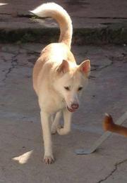 Bolinha, wunderschöne Husky
