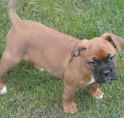 Boxer wellpe