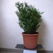 Buchsbaum (Kübelpflanze) in