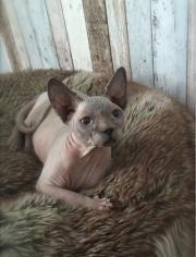 can sphynx kitten