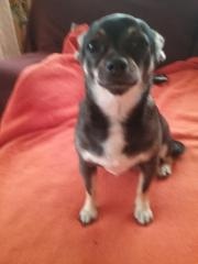 Chihuahua Dame sucht