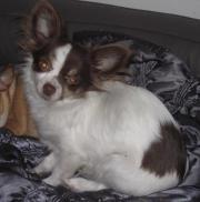 Chihuahua Jung Rüden
