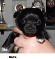 Chihuahua-Welpen LH (