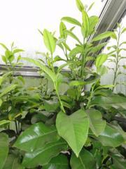 citrusbaum in klaus pflanzen kaufen und verkaufen ber private kleinanzeigen. Black Bedroom Furniture Sets. Home Design Ideas
