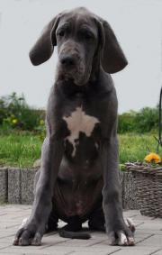 Deutsche Dogge Welpen
