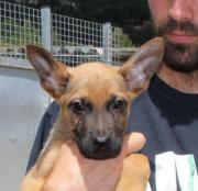 Emilio, Schäferhund-Labrador
