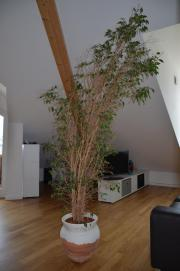 Ficus Benjamin in