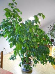 Ficus - Benjamina