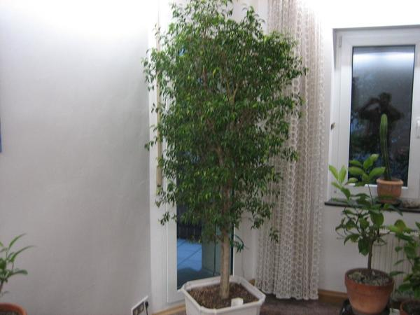 Ficus » Pflanzen