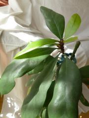 Ficus m. gr.