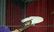 Fink, Zebrafink, Vögel