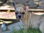 Französische-Bulldogge/Chihuahua-