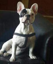 Französische Bulldogge Zeus