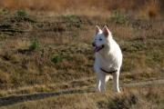 Gestresster weißer Schäferhund