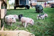 Glückliche Minischwein / Microschwein
