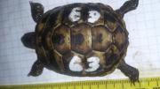 Griech. Landschildkröten NZ