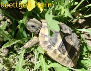 Griechische Landschildkröte, Jungtiere