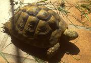 Griechische Landschildkröten 1,