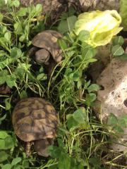 Griechische Landschildkröten THB,