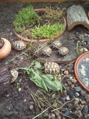 Griechische Landschildkröten, THB,