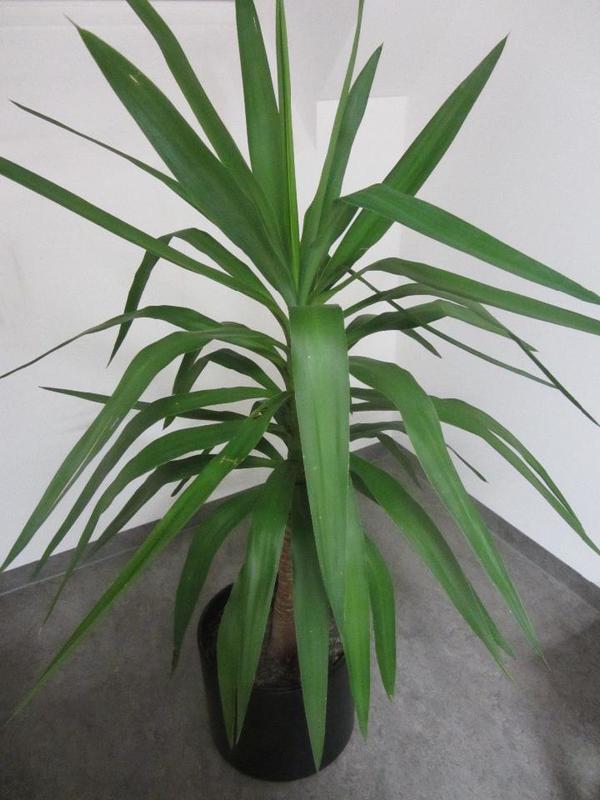 große Zimmerpflanze Ficus Benjamin Yuccapalme