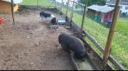 hängebauch mini schweine