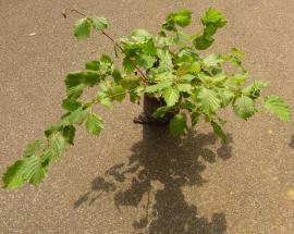 Bild 4 - Haselnuss Haselnussbusch Haselnussbaum - Sinsheim